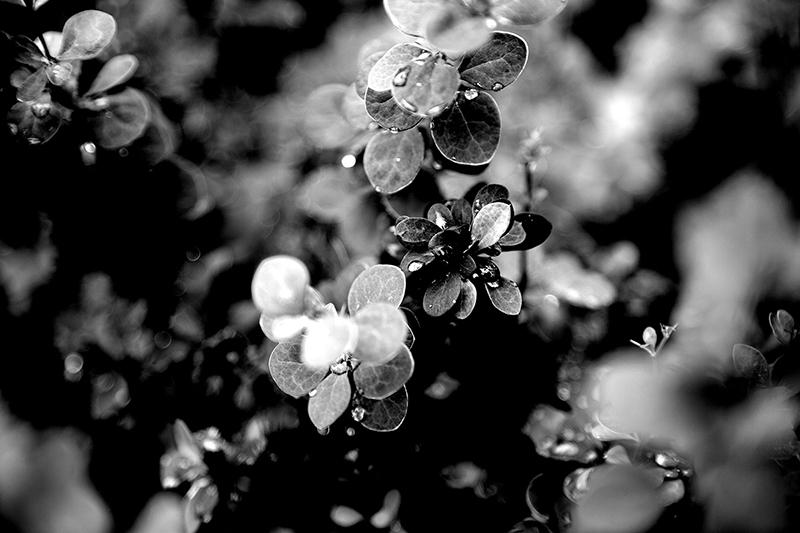 Raindrops on Barberry