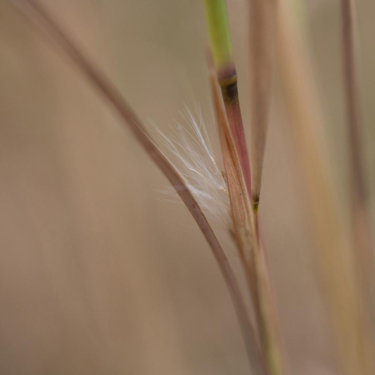 Ornamental Grass Spikelet, 2021