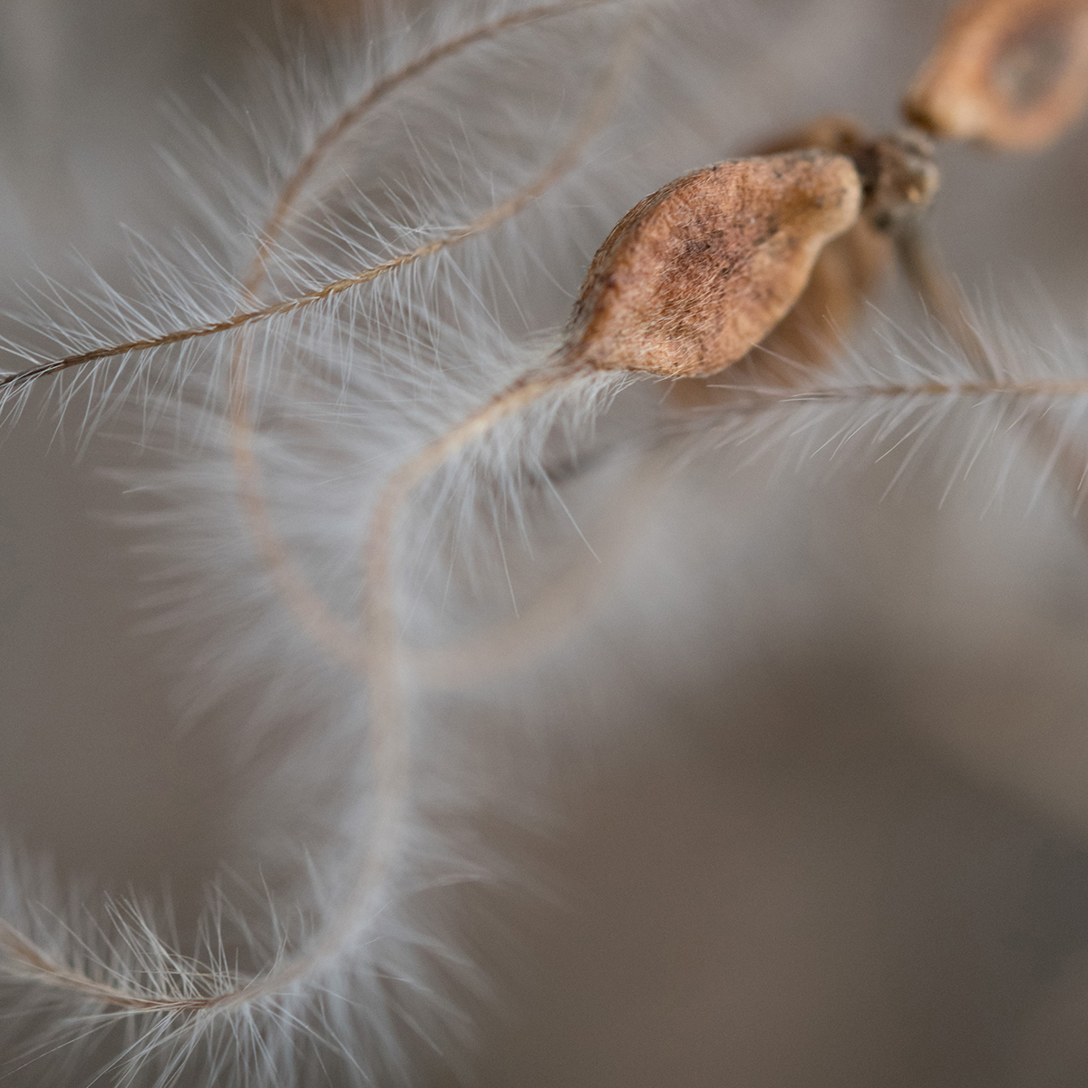 Autumn Clematis Seeds, 2021