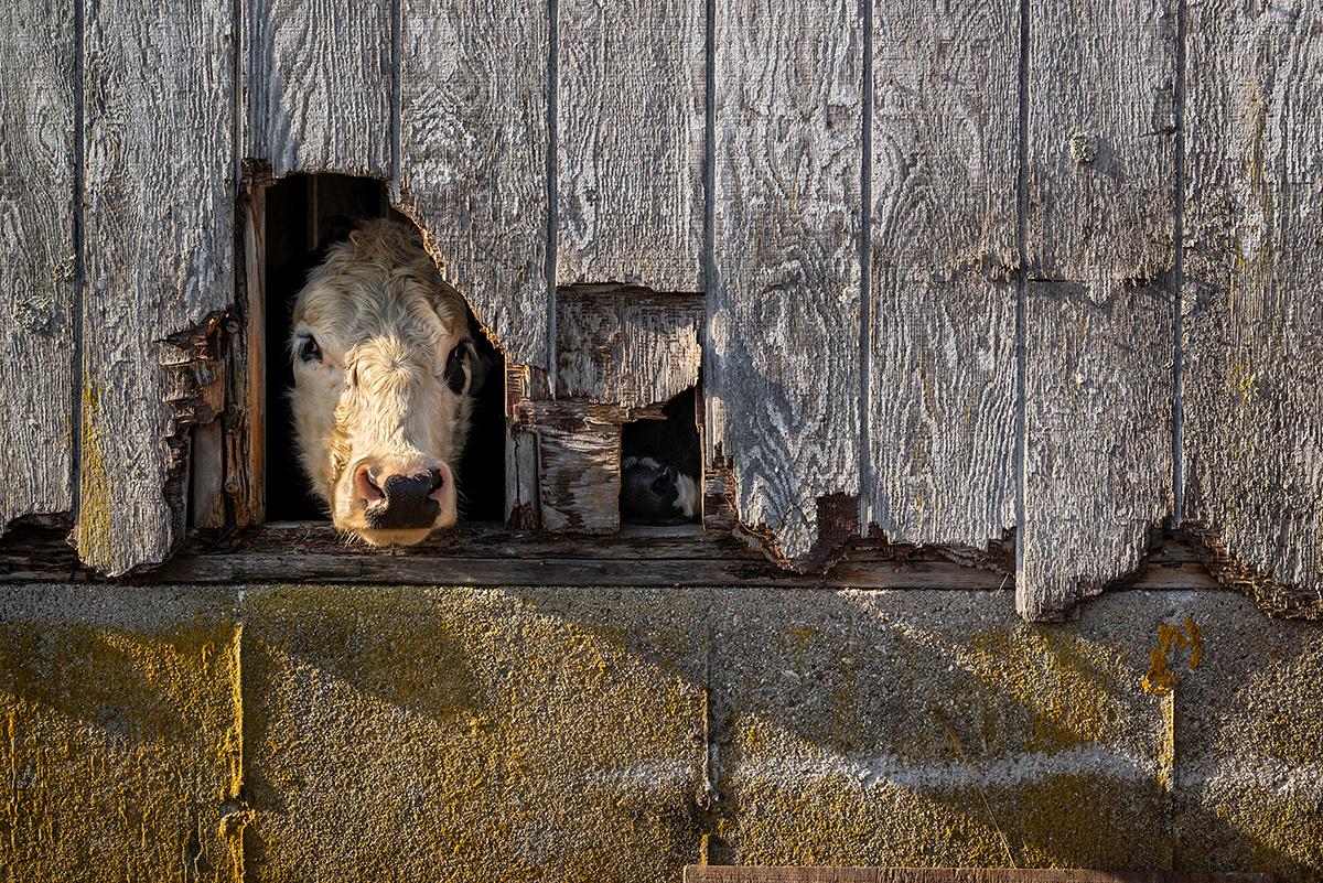 Cow Poke