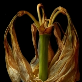 Deb Ehrens - Golden Amaryllis